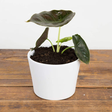 "Urban Sprouts Rare Plant 4"" in nursery pot Elephant Ear 'Azlanii' 4"""