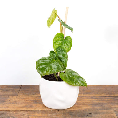 "Philodendron 'Brandtianum' 4"" - Urban Sprouts"