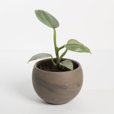 "Urban Sprouts Rare Plant 4"" in nursery pot Philodendron 'Silver Sword' 4"""