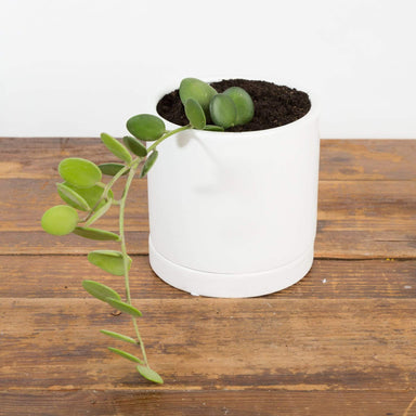 "Urban Sprouts Rare Plant 4"" in nursery pot Silver Dollar Vine 4"""