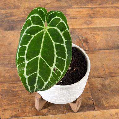 "Anthurium Crystallinum 6"" - Urban Sprouts"