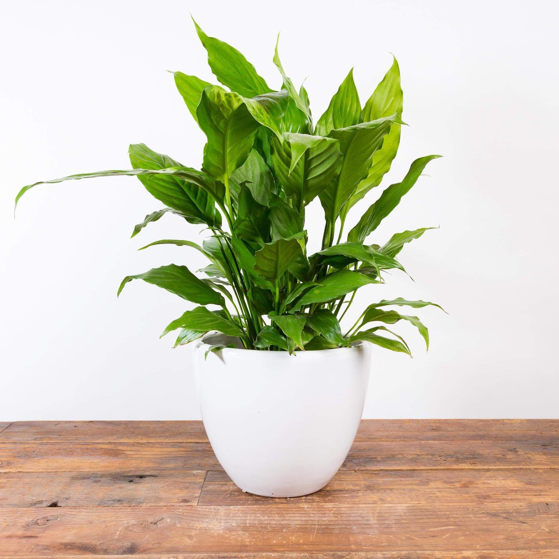 Peace Lily 'Alpha' - Urban Sprouts