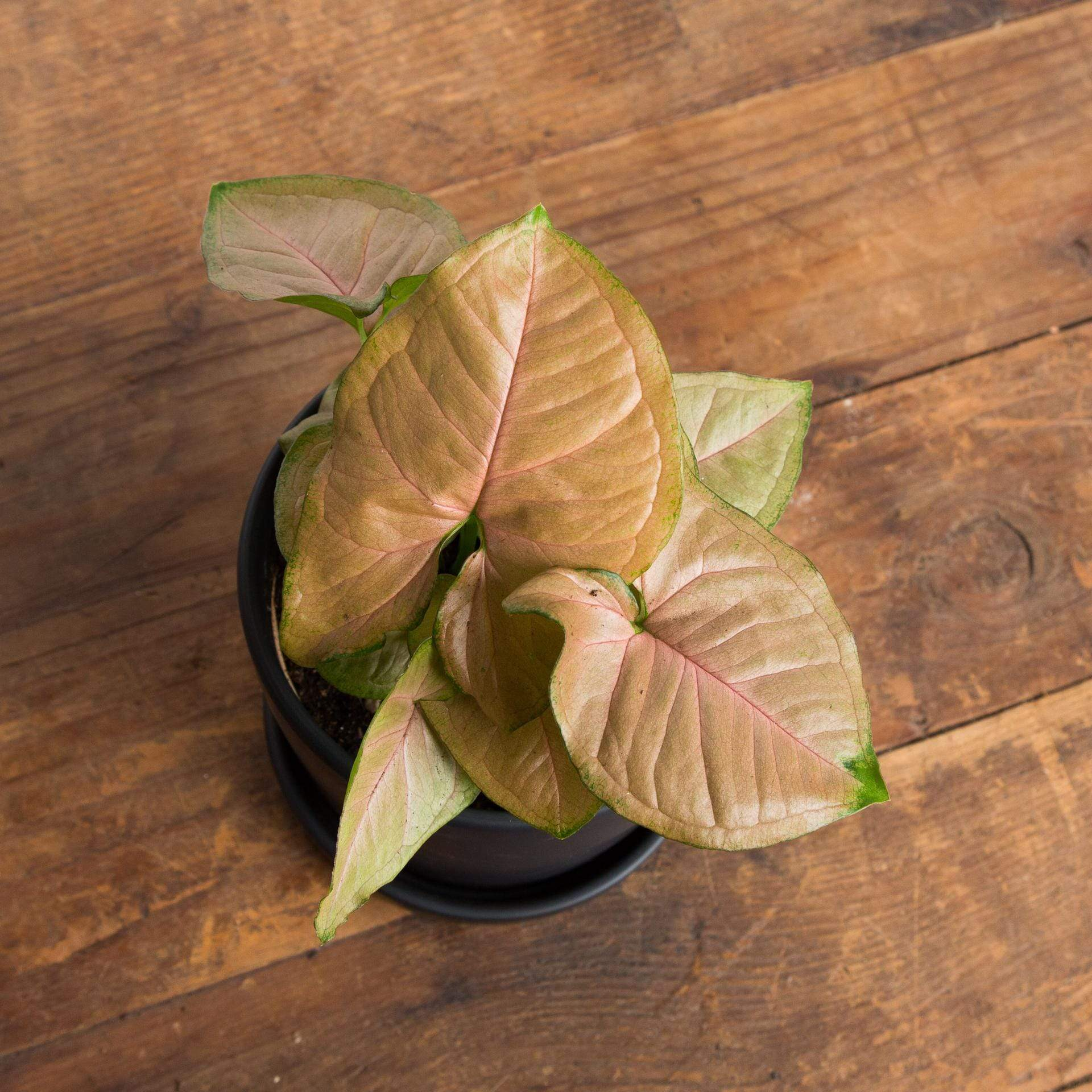 "Arrowhead Vine 'Strawberry Cream' 4"" - Urban Sprouts"