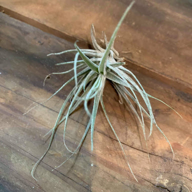 Tillandsia Elhersiana - Urban Sprouts