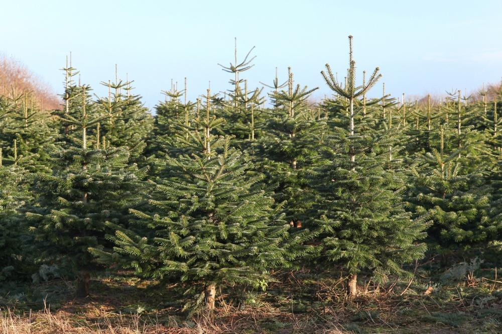 Christmas Starts Here - 'Tis Tree Growing Season in Scotland