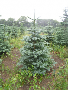 The Noble Fir at The Christmas Forest