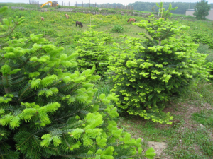 Growing Christmas Trees with The Christmas Forest