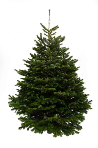 12ft Nordmann Fir