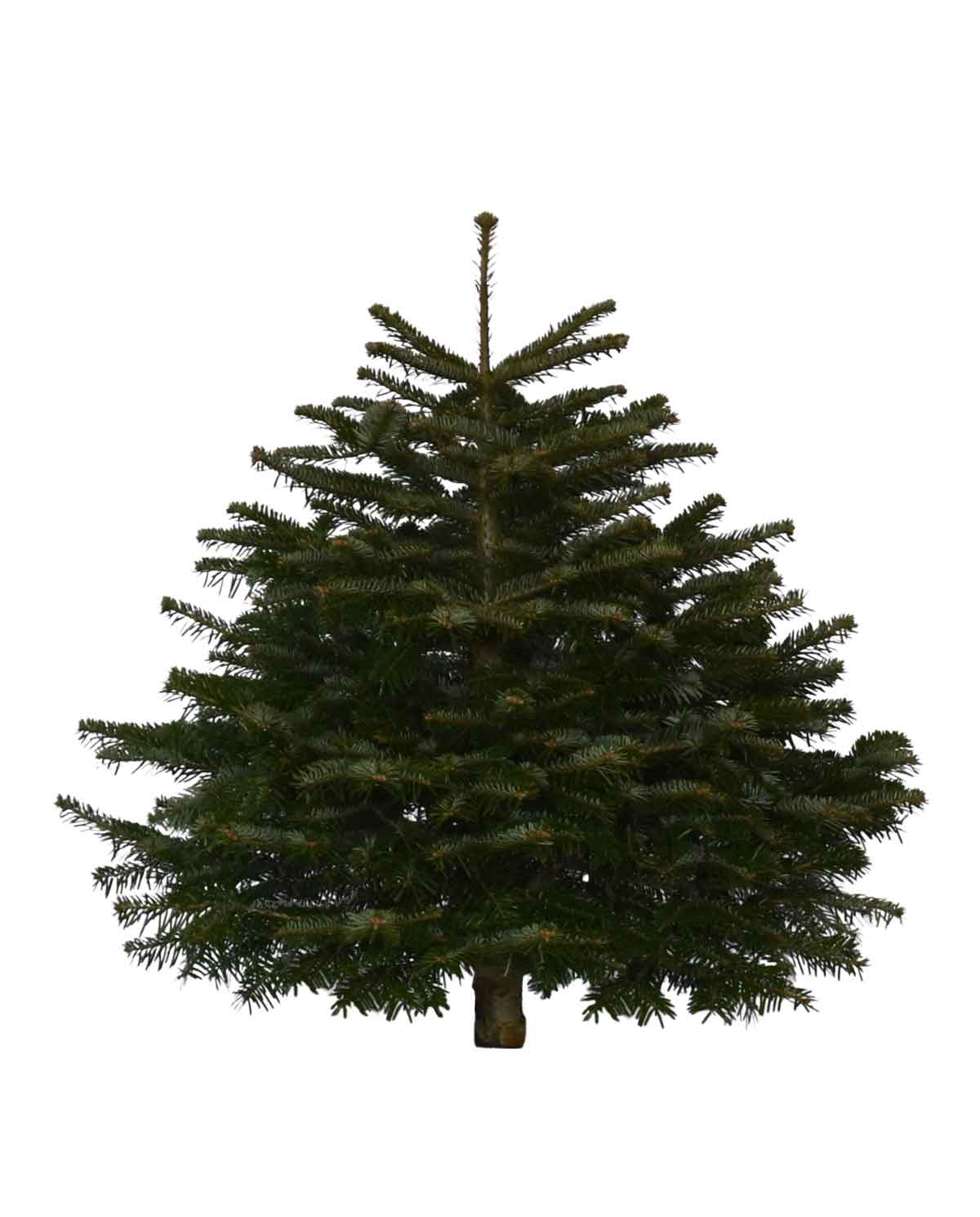 3ft Nordmann Fir Christmas Tree