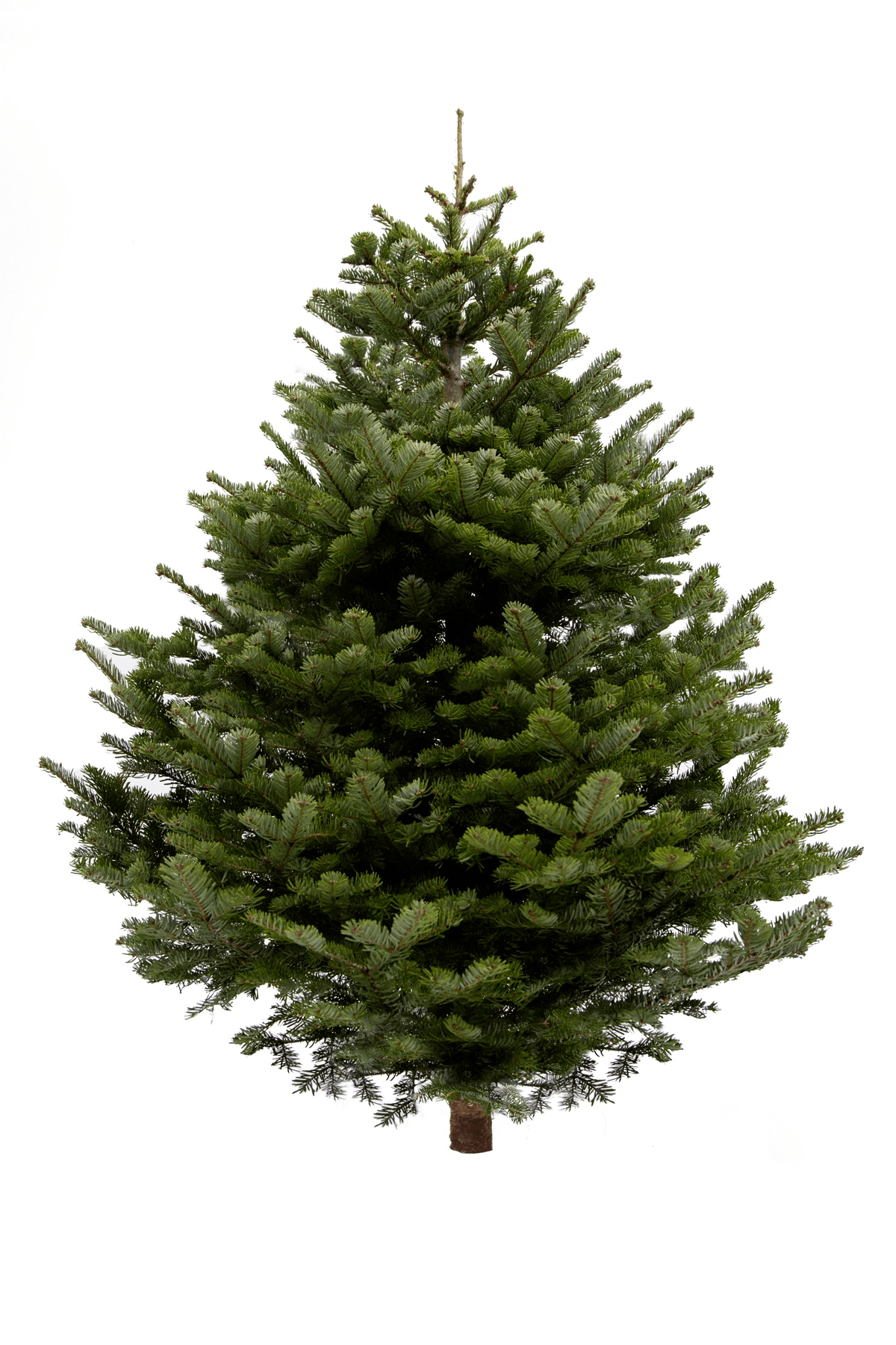 4ft Nordmann Fir Christmas Tree The Christmas Forest