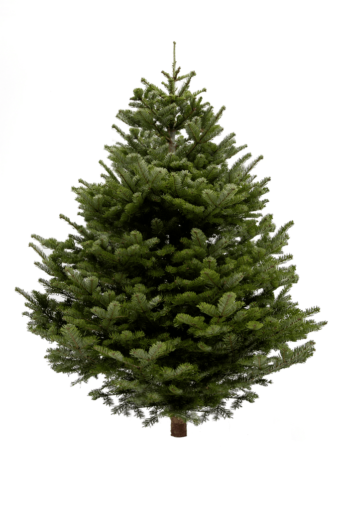 4ft Nordmann Fir Christmas Tree