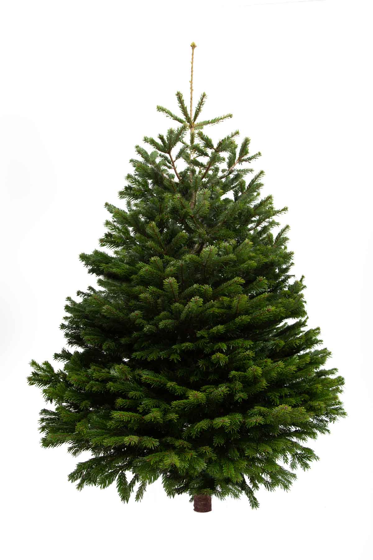 8ft Nordmann Fir Christmas Tree