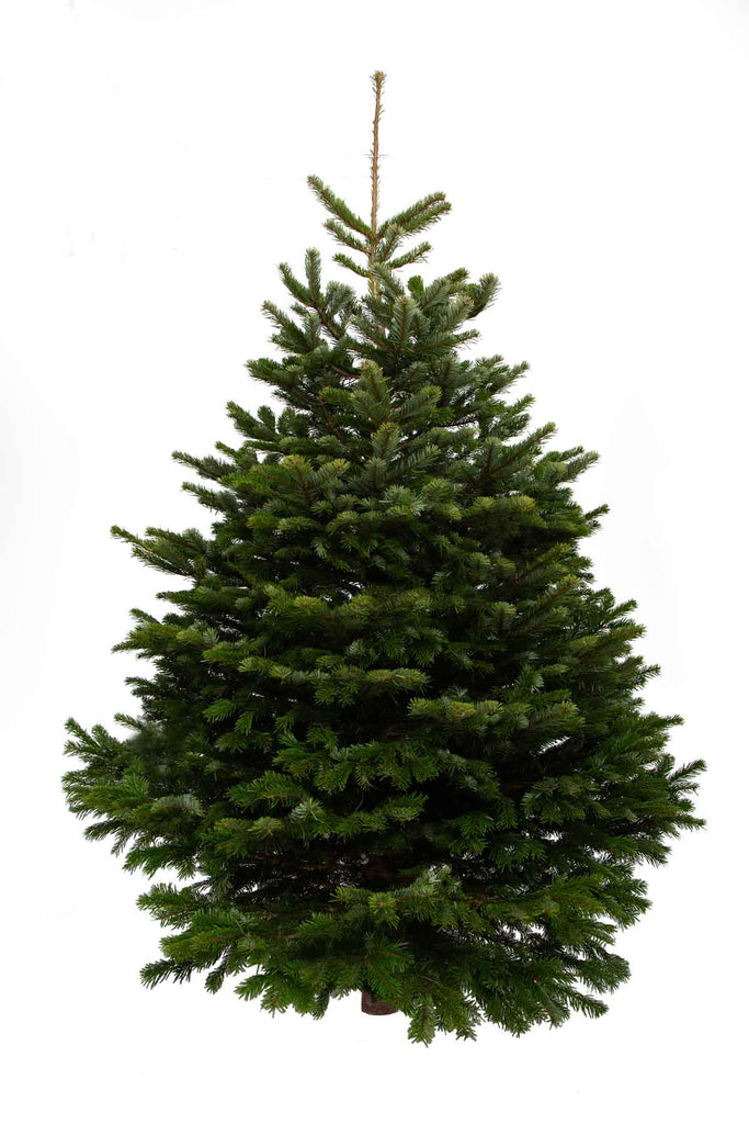 9ft Christmas Tree.9ft Nordmann Fir Christmas Tree The Christmas Forest