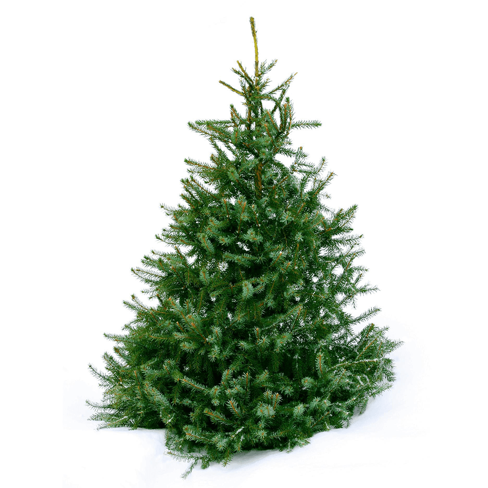 8ft Norway Spruce Christmas Tree from The Christmas Forest