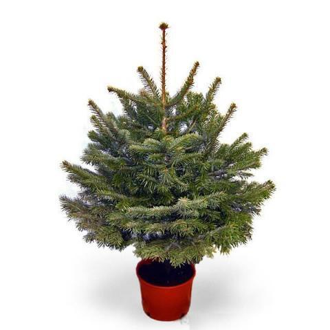 5ft Potted Fraser Fir Christmas Tree