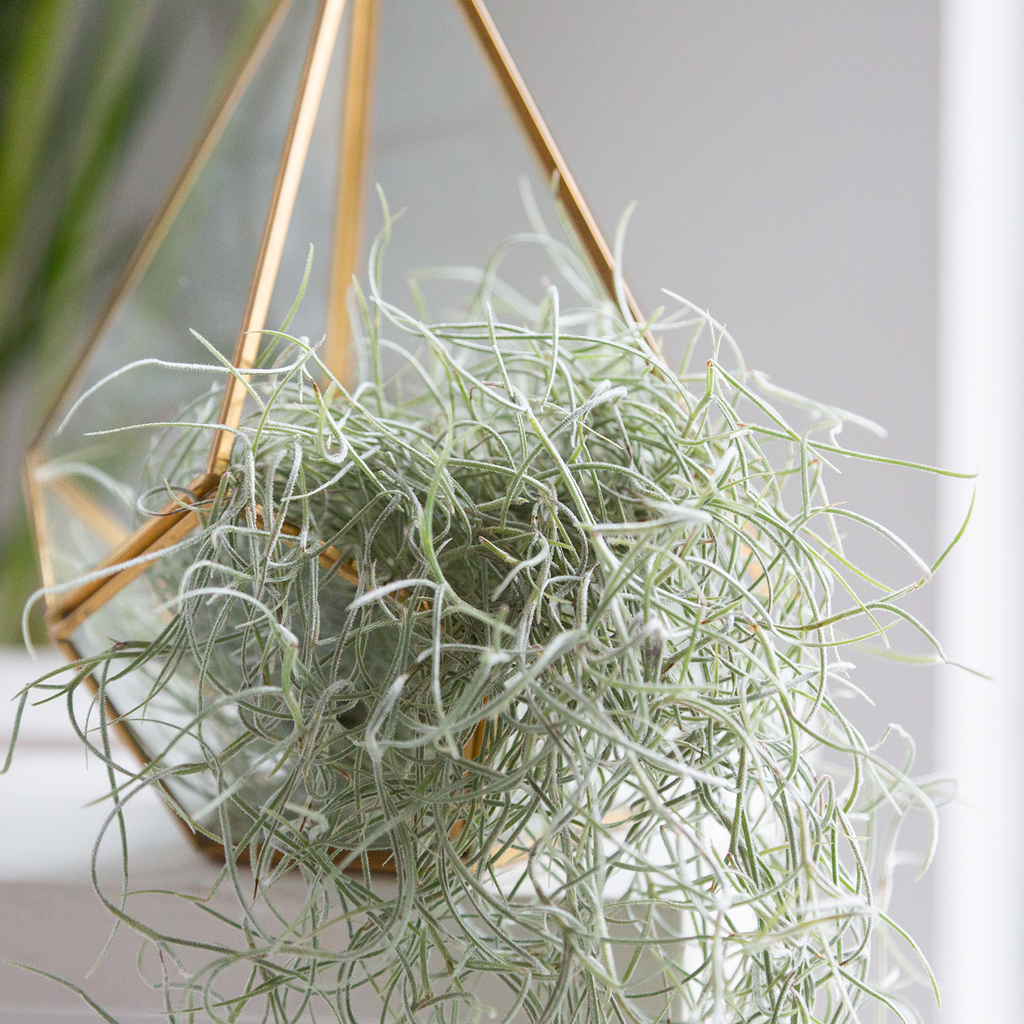 Airplant Terrariums