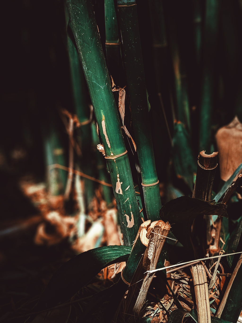 natural growing bamboo with dried up leaves on the ground