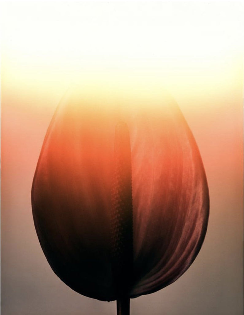 Anthurium Limited Edition Fine Art Print - Global Images Gallery
