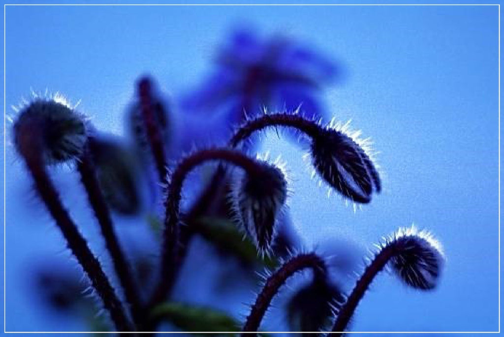 "Daniel Furon Collection ""Borage Flowers"" original fine art print."