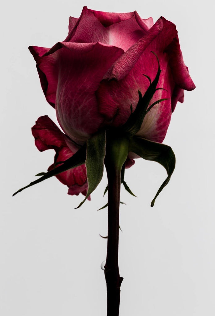 Rose 1 Limited Edition Fine Art Print-Fine Art Print-Global Images Gallery-16x20-Global Images