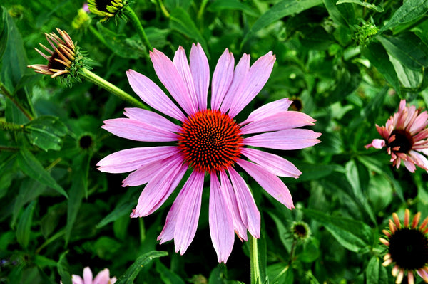 How does Echinacea Extract work?