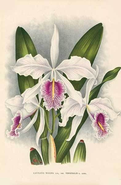 GS2200: Orchid Envy - Unscented Soap