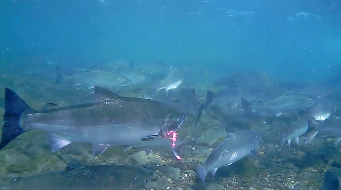 Four Hour Underwater Journey | Viewing Live Salmon