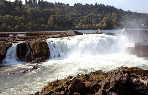 Willamette Wild Steelhead Runs Improve after Sea Lions Euthanized