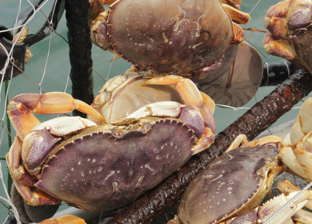 crabs dungeness fishing fish