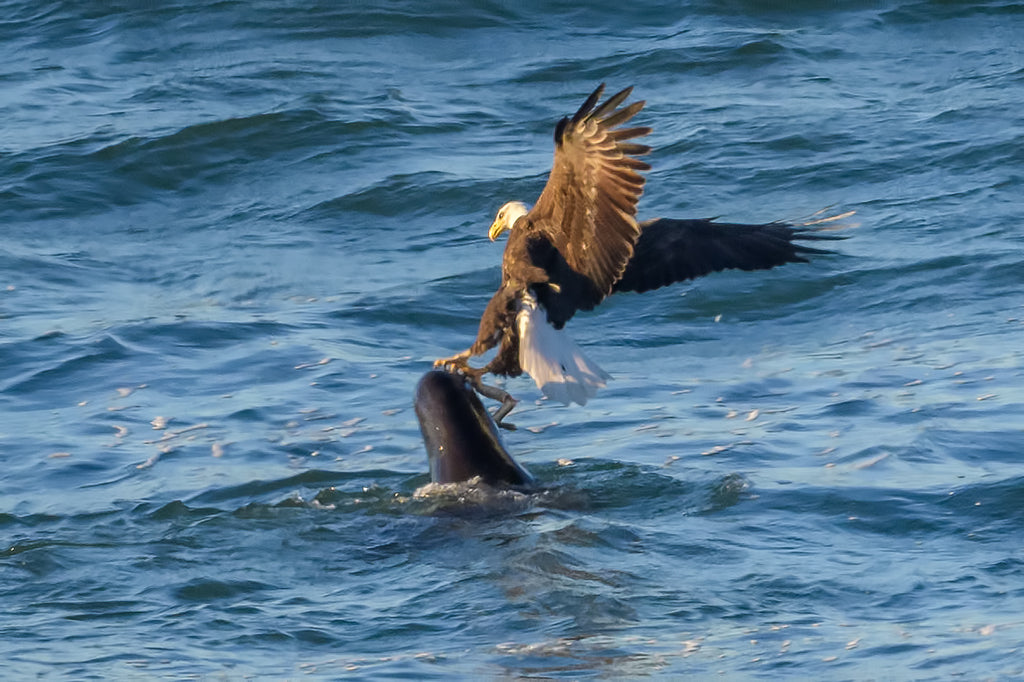 eagle sea lion fishing lamprey