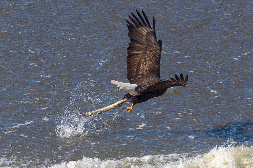 eagle catches lamprey fish