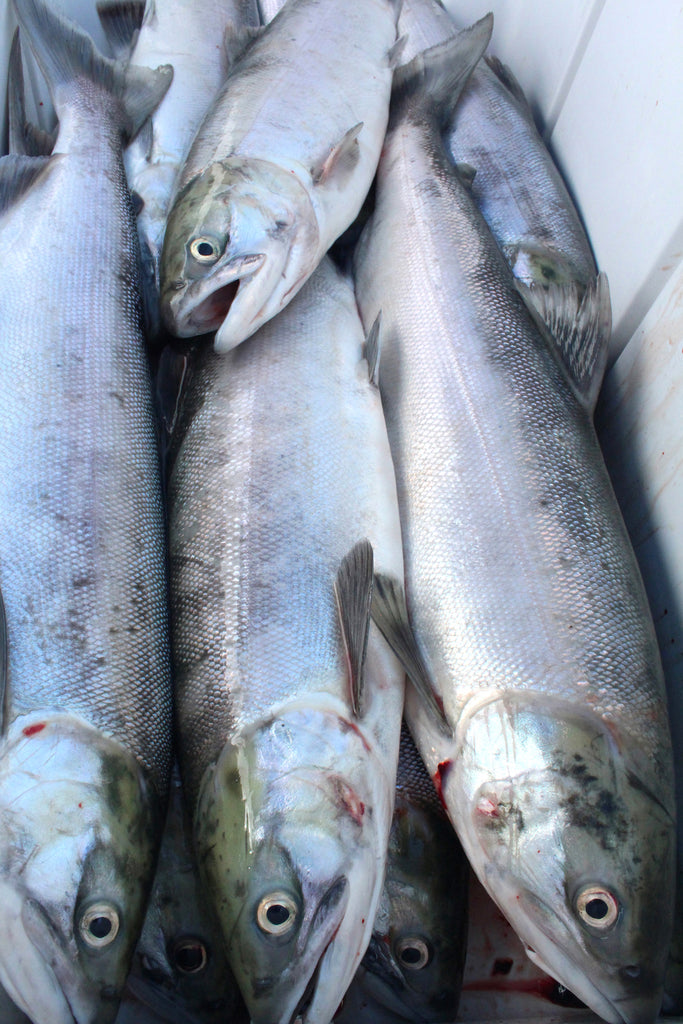 sockeye red salmon idaho washington oregon columbia river fishing fish cooler