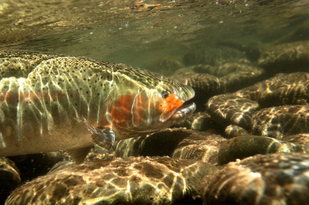 steelhead underwater summer skamania fish trout