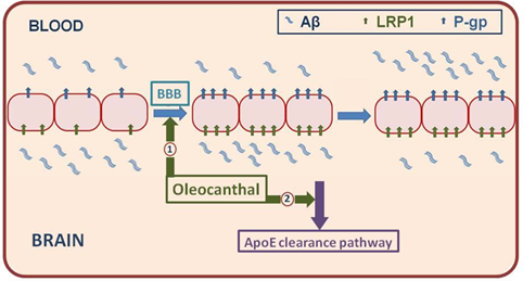 .  Buildup of Aβ contributes to Alzheimer's disease progression, and OC facilitates clearance of this peptide from the brain via activation of two pathways.