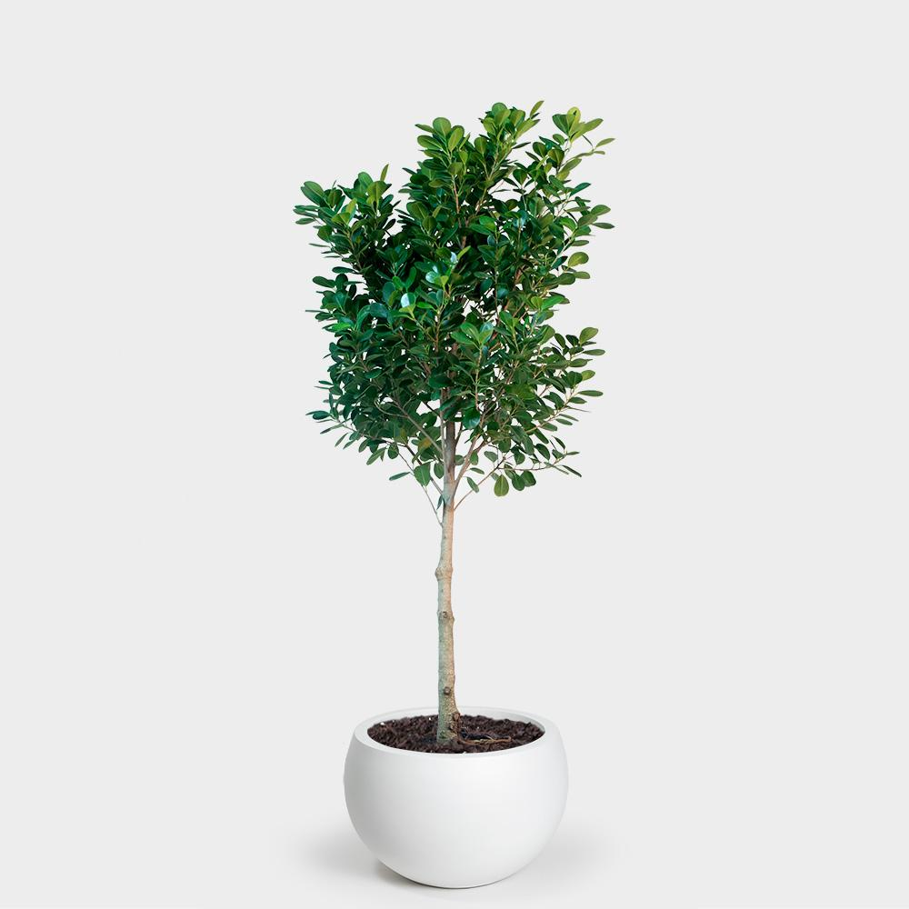 Ficus Moclame Plant Care Guide