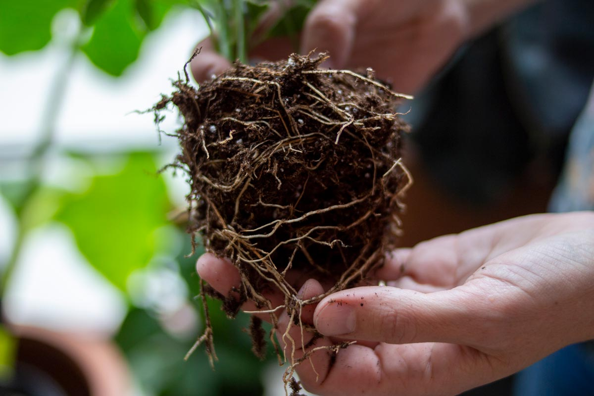 Root health for direct potting.