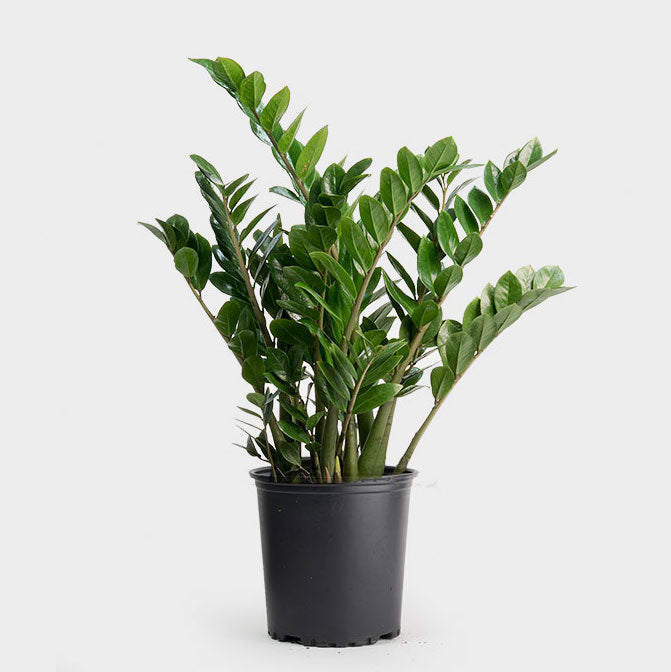 Greenery Unlimited How To Care For The Zz Plant