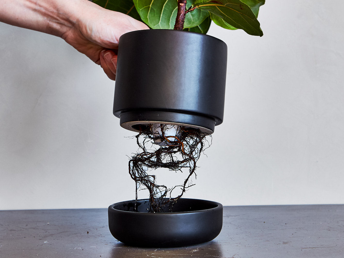Roots in a self watering planter