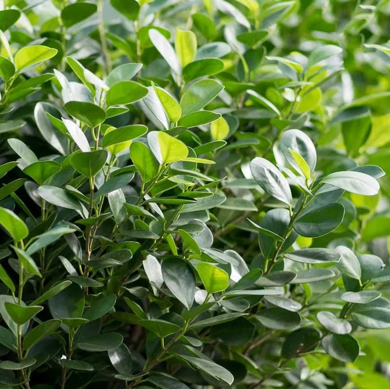 Ficus Moclame Plant Leaves