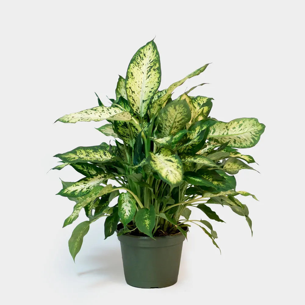 Dieffenbachia Plant Care Guide
