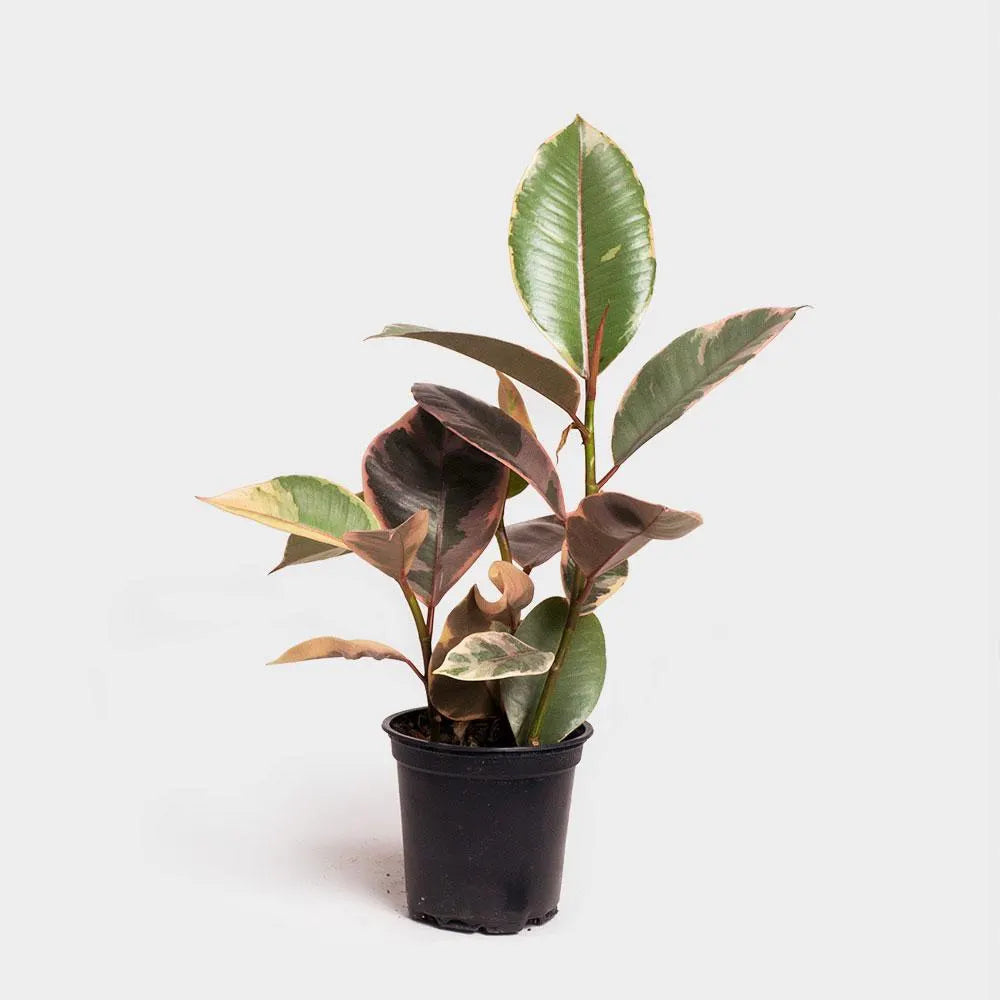Greenery Unlimited | Ficus Elastica Ruby Care
