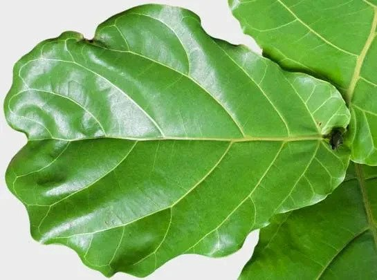 Fiddle Leaf Fig Leaf