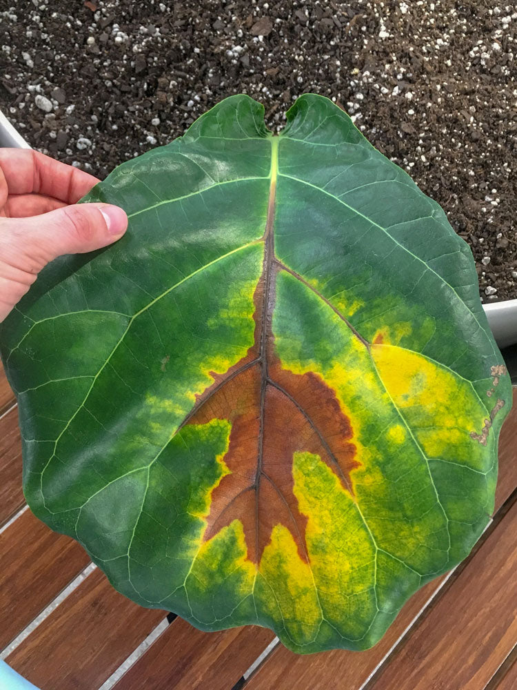 Brown fiddle leaf fig (ficus lyrata) leaf, due to overwatering.