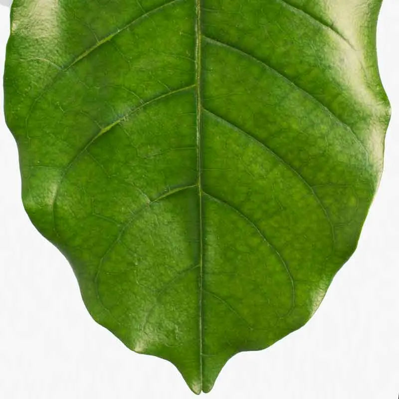 Natal Mahogany Leaf Close-up