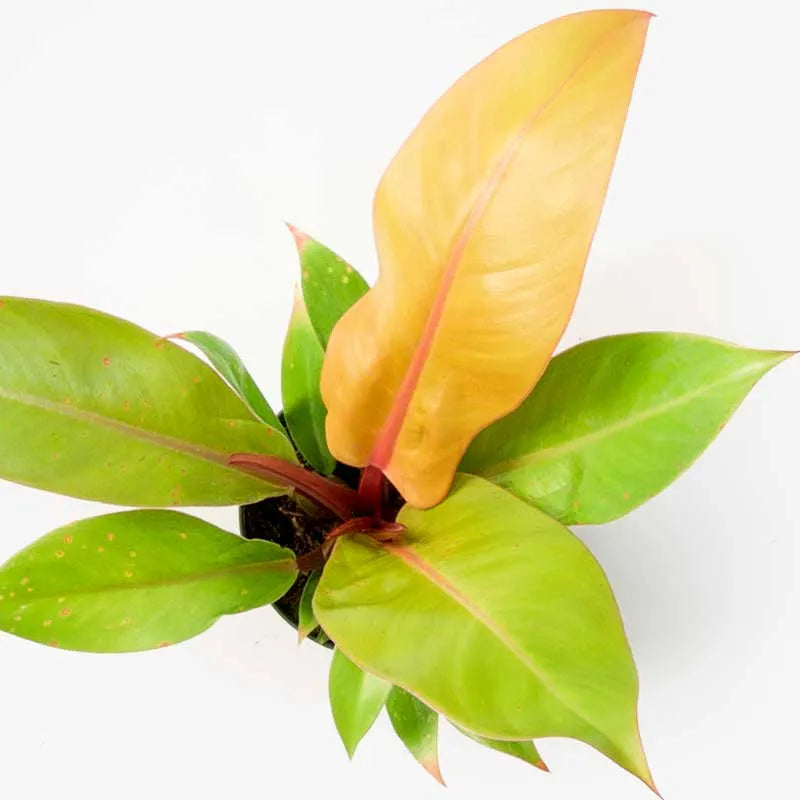 Philodendron Prince of Orange Leaves