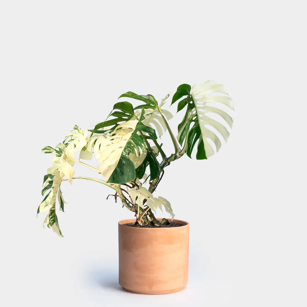 Greenery Unlimited Variegated Monstera Care
