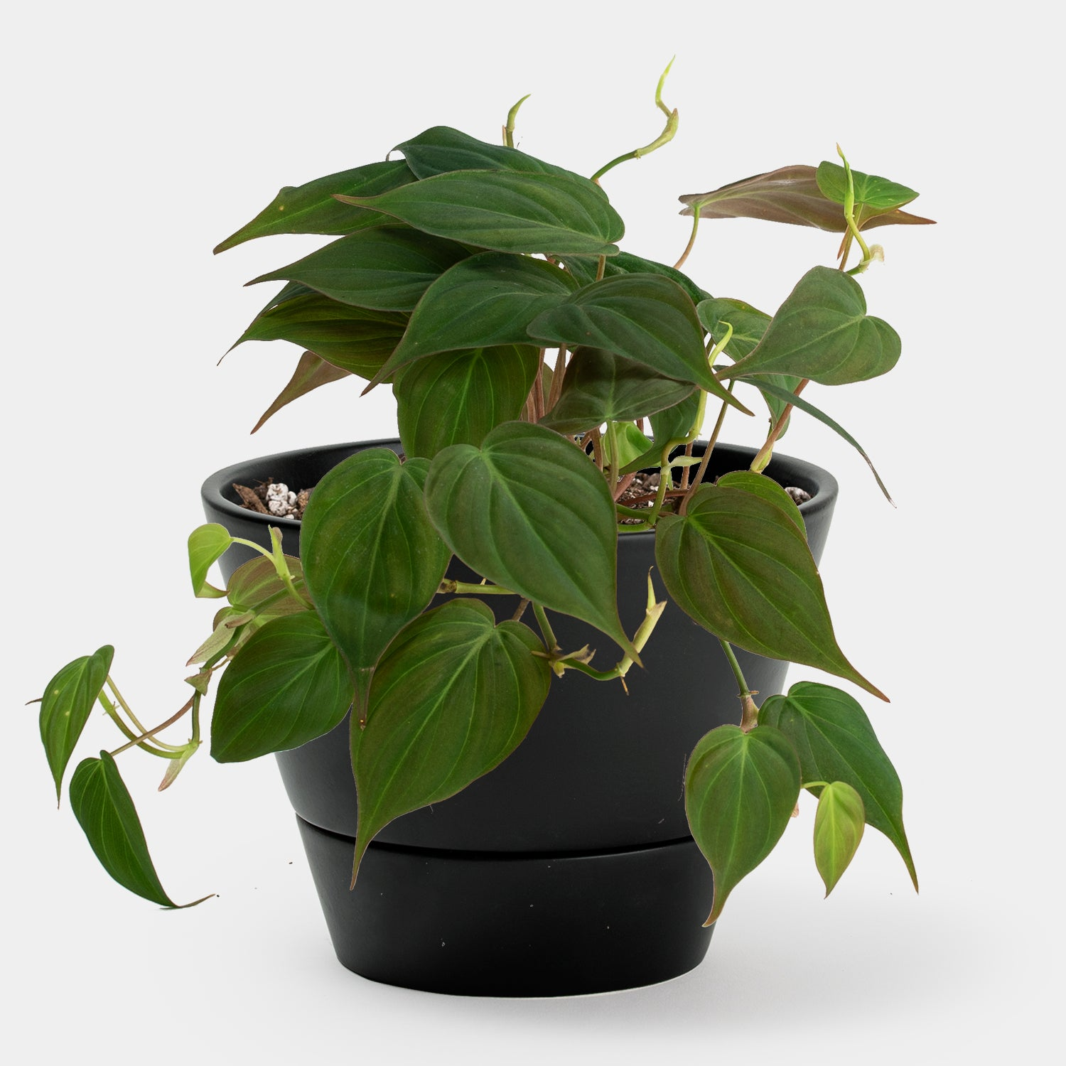 Philodendron Micans | 4