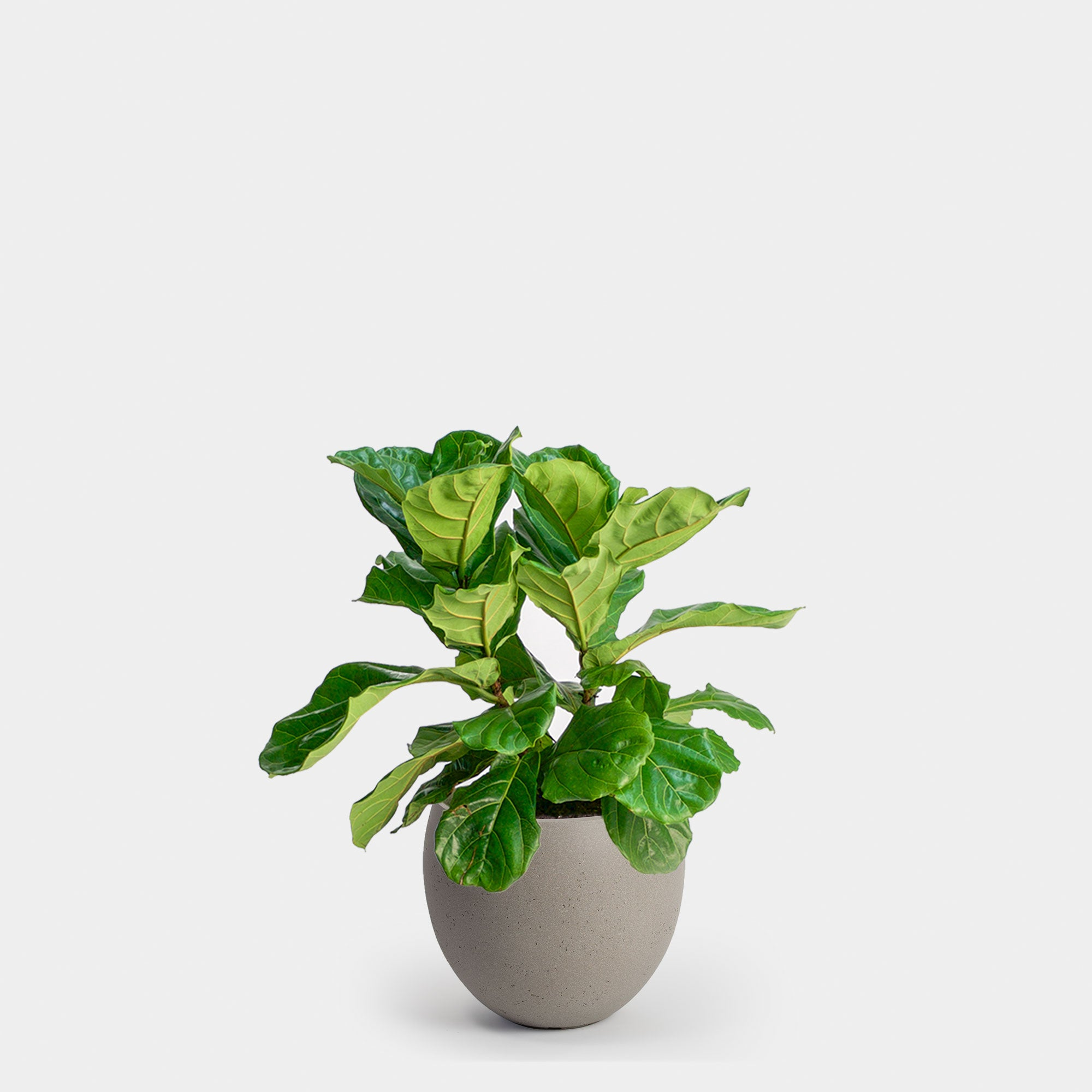 Fiddle Leaf Fig Bush | 10