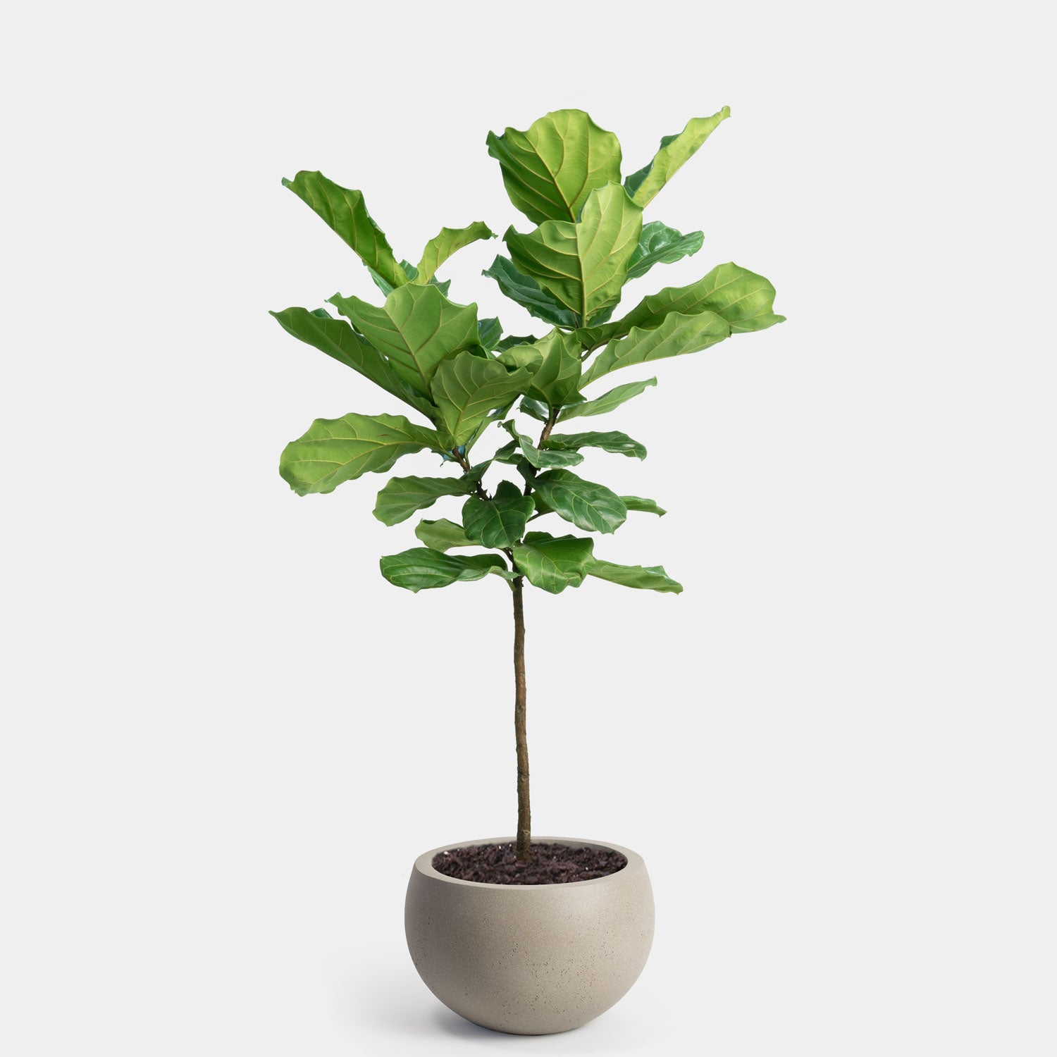 Fiddle Leaf Fig Tree | 14