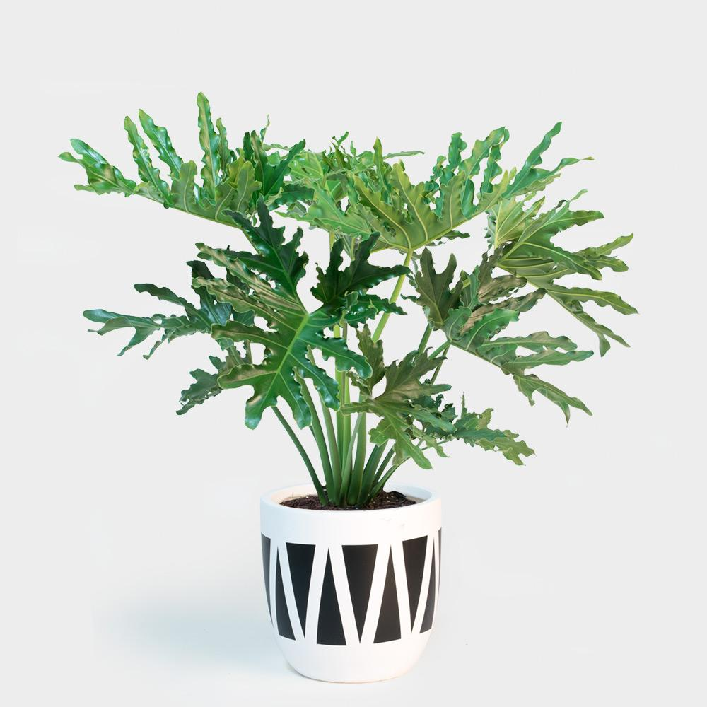Philodendron Hope Selloum in Design Twins Jaws | 10
